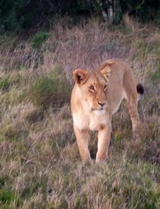 One of the lions seen in the preserve on safari