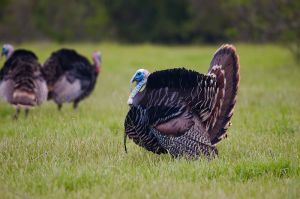 Wild turkey are prevalent in our town. Watch out when you meet one on the running trail. (Wikipedia)