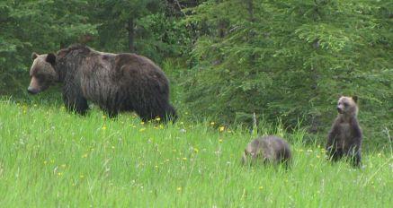 Grizzlymumcubs-c01